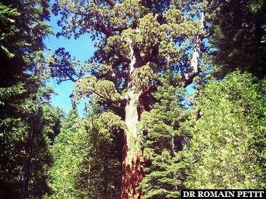 Grizzli Tree à Yosemite