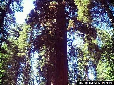 California Tree à Yosemite
