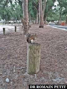 Ecureuil près de la plage de Sarasota