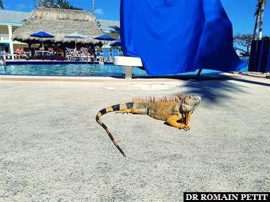 Iguane à la piscine de l'hôtel à Key West