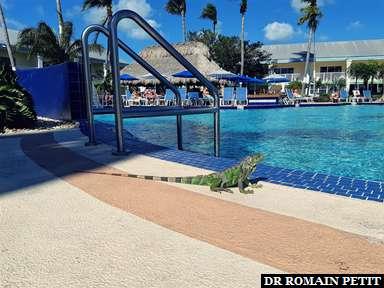 Iguane qui essaye d'aller dans la piscine de l'hôtel à Key West