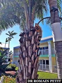 Iguane dans un arbre près de la piscine de l'hôtel à Key West